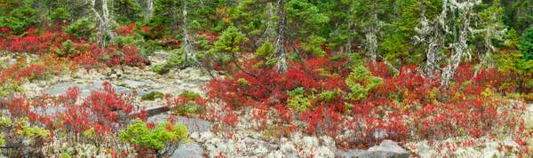 Blueberry patch, ME