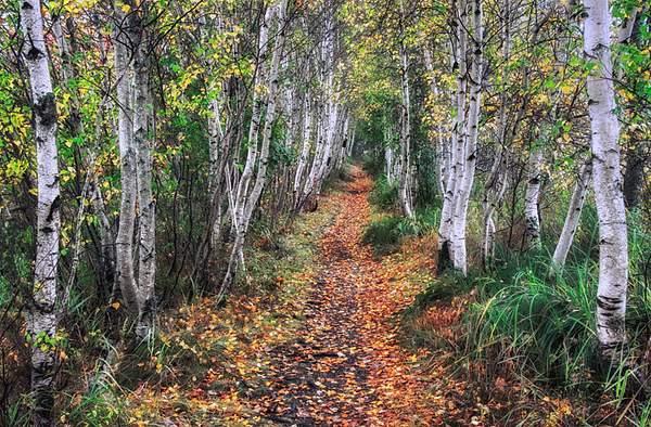 birch pathway