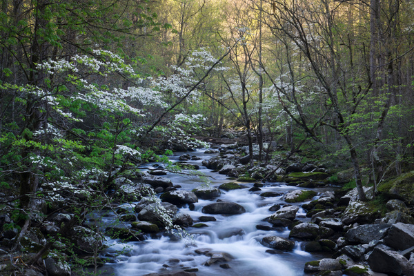 Tremont dogwood - Great Smoky Mountains, TN - Tony Sweet