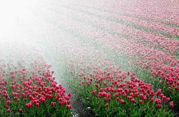 Tulpen, bollen Noordoostpolder 16apr2017 0105 kopie