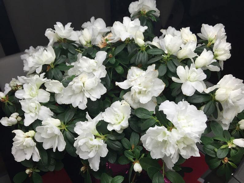 white mini roses