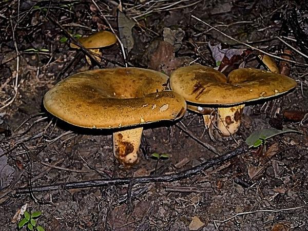 Mushrooms 3nr by Steve Hollar