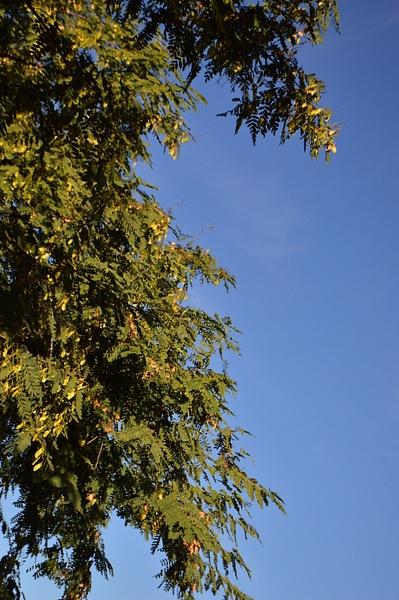 Tall oak by JosephMartinez