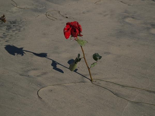 Sand Rose by EstebanAguilar