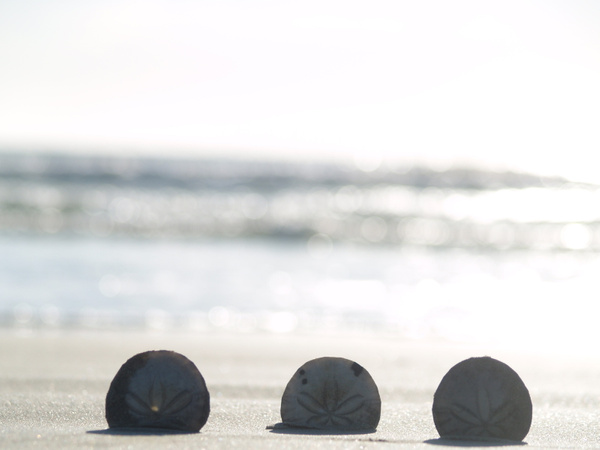Sand Dollar by EstebanAguilar