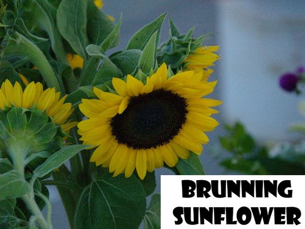 brunning sunflower by EstebanAguilar