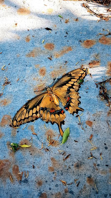 butterfly butterdie