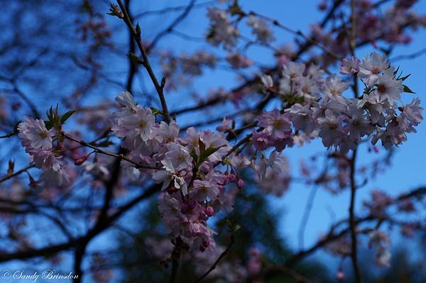 Blossom in Christchurch, NZ by SandyBrinsdon