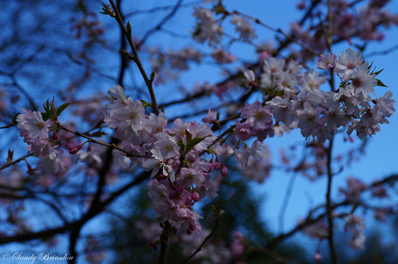 Blossom in Christchurch, NZ