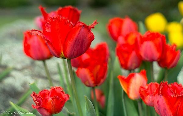 Tulips at their best by SandyBrinsdon