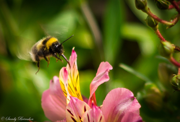 Bee in Spring by SandyBrinsdon