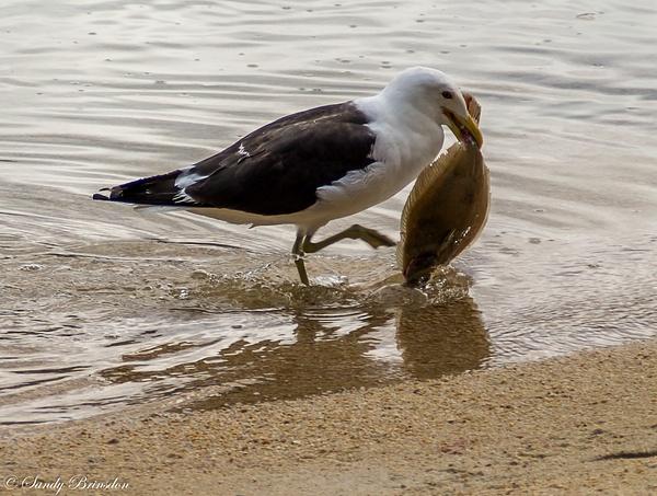 Seagull catch by SandyBrinsdon