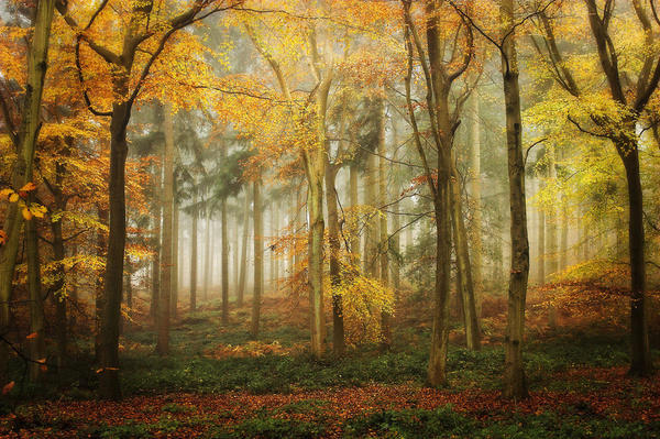AUTUMN BEECH WOODS