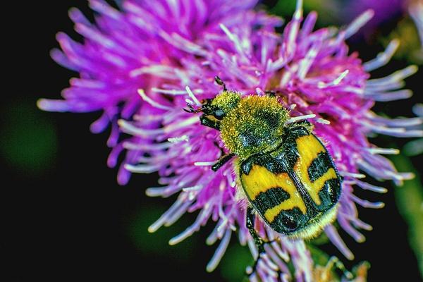 9250389-bee-beetle