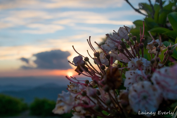 mountain laurel by Elaine Everly