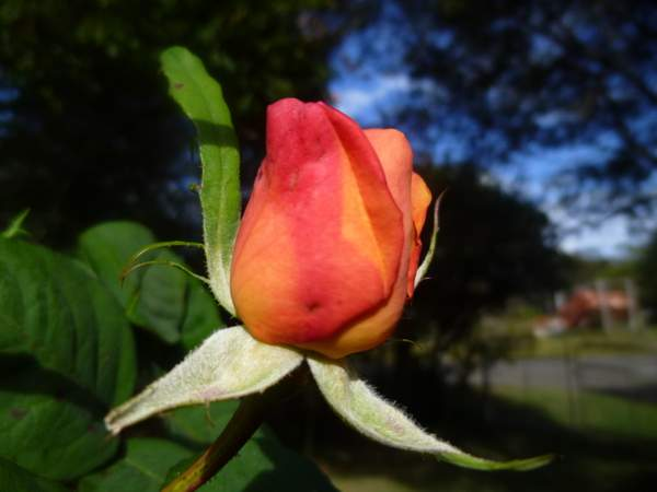 climimbing orange rose bud - may 15 2014