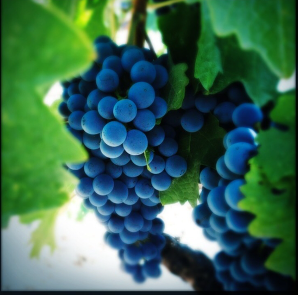 south african grapes by Gabriel le Roux