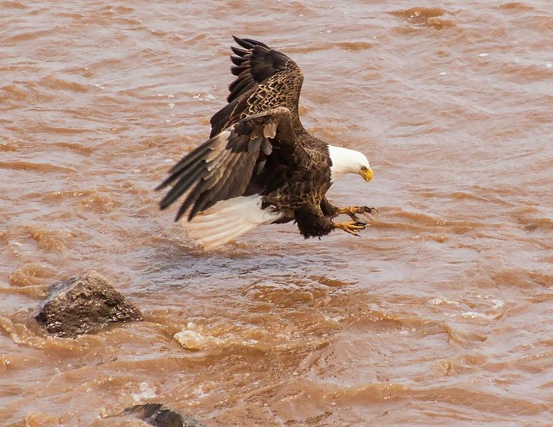 eagle 033