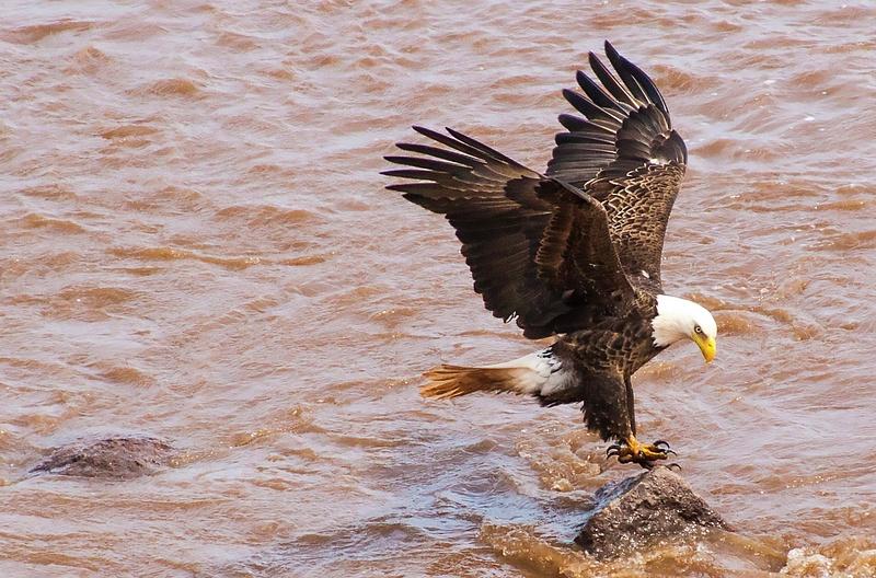 eagle 037