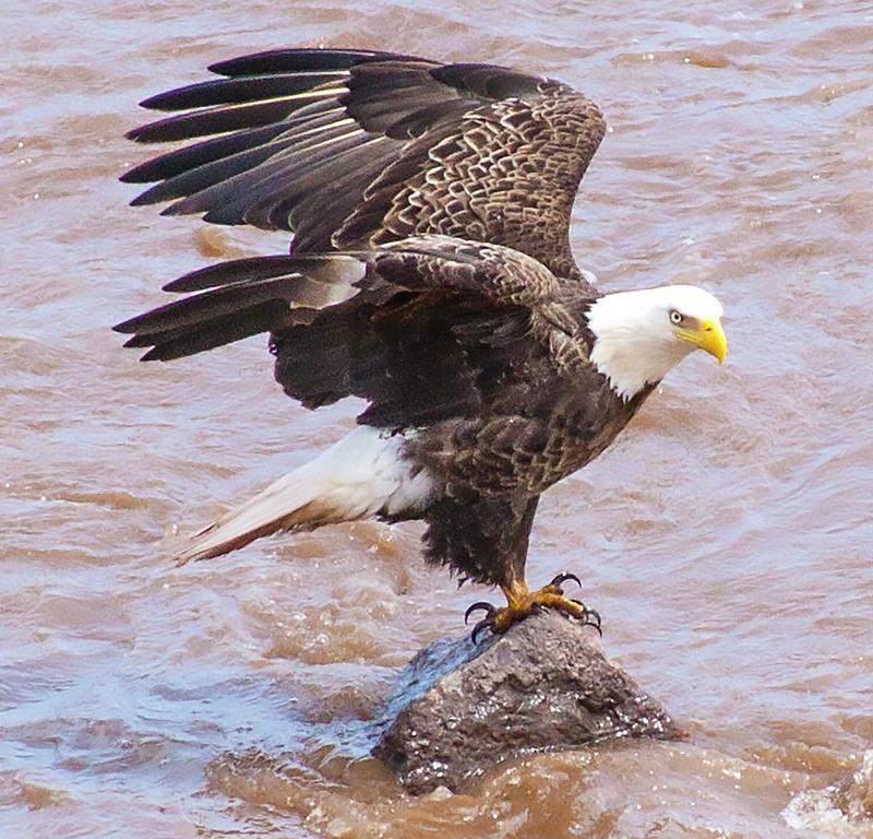eagle 038