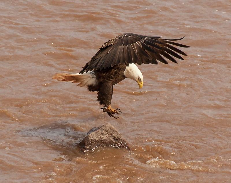eagle 062
