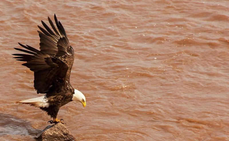 eagle 063