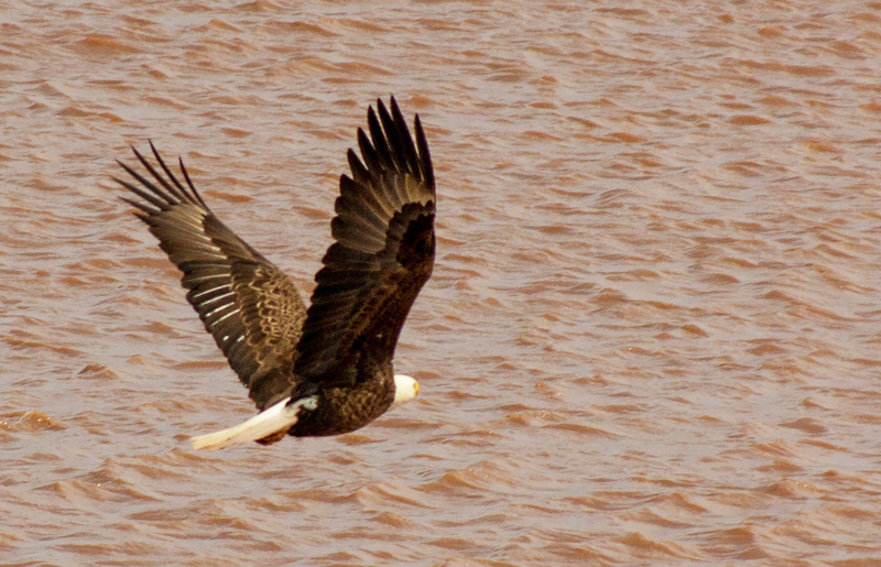 eagle 078