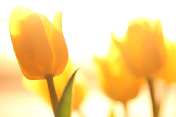 tulips 2 019