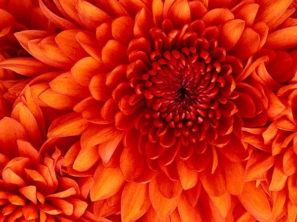 1Chrysanthemum by slickpic200
