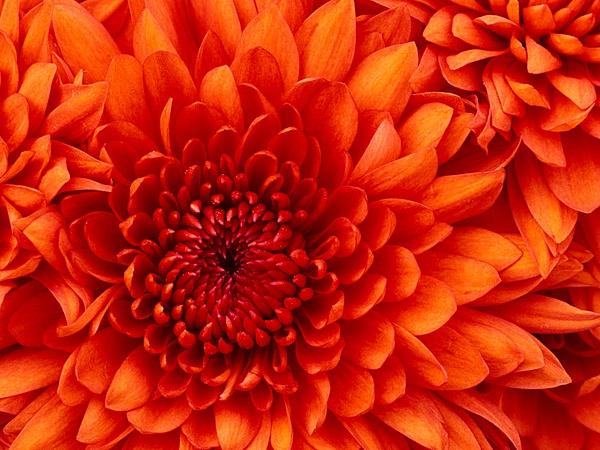 Chrysanthemum by slickpic200