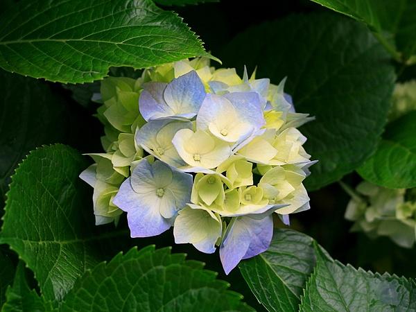 Hydrangeas by slickpic200