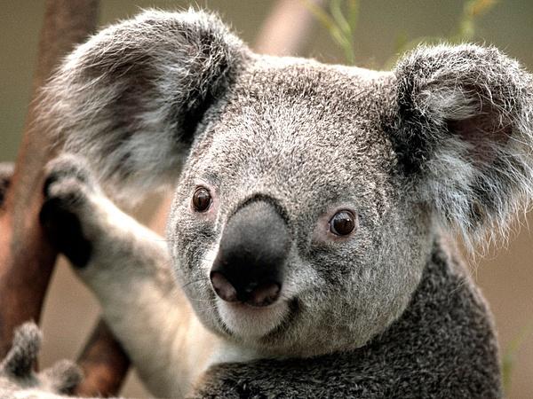 Koala by slickpic200