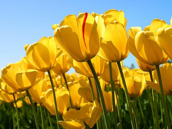 Tulips by slickpic200