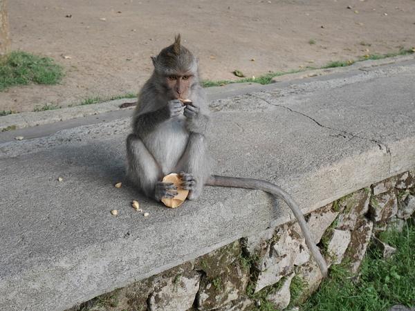 Ubud Sacred Monkey Forest Sanctuaryssa saa viettää aikaa viidakossa villiapinoiden kanssa. by hannajamikko