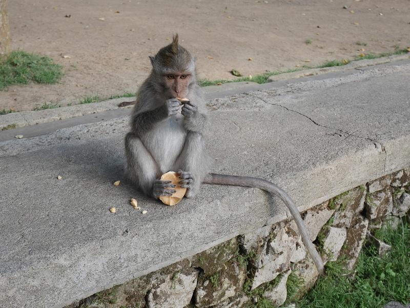 Ubud Sacred Monkey Forest Sanctuaryssa saa viettää aikaa viidakossa villiapinoiden kanssa.