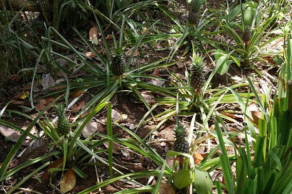 Ananakset kasvaa maassa ja kukinnosta tulee vain yksi ananas. by hannajamikko