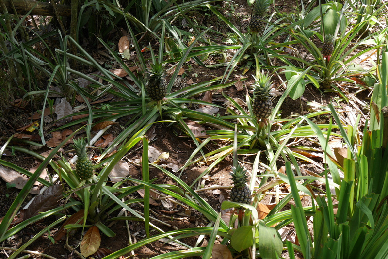 Ananakset kasvaa maassa ja kukinnosta tulee vain yksi ananas.