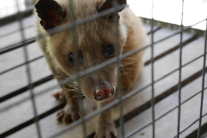 Civet-eläin syö vain parhaimmat kahvinpavut, joten sen ulosteet kerätään civet kahvia varten.
