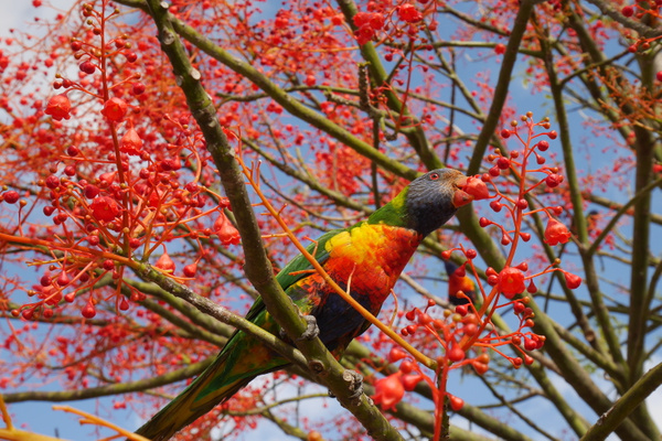 Rainbow Lorikeet by hannajamikko
