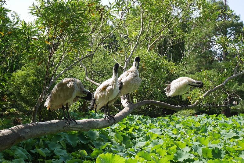 Paikallisia lintuja, vähän kuin lokkeja täälläpäin