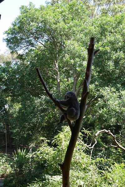 Koala lempipuuhassaan eli nukkumassa by hannajamikko