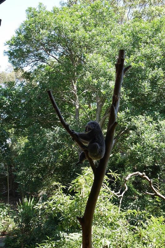 Koala lempipuuhassaan eli nukkumassa