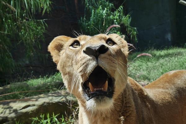 Roar! by hannajamikko