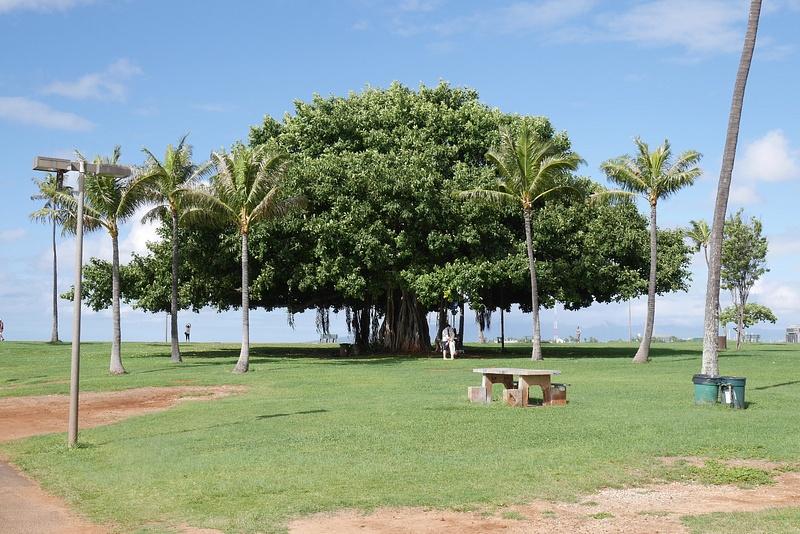 Vanha puu jonka alla joku ottaa hääkuvaa