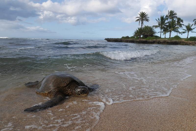 Merikilpikonnat tulevat rannalle lämmittelemään ja levähtämään