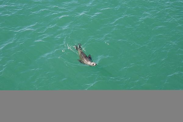 Merileijona pyöri ja leikki villinä luonnossa by hannajamikko