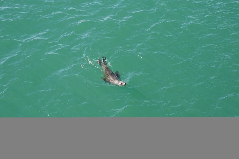 Merileijona pyöri ja leikki villinä luonnossa