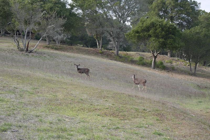 Törmäsimme luonnossa näihin peuroihin, joita paikalliset nimittävät Black Tailed Deer