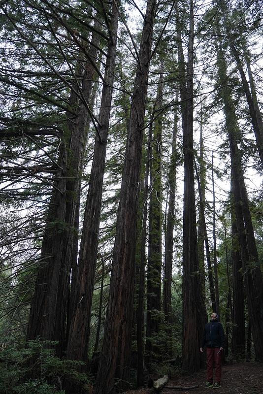 Pitkiä ja vanhoja punahonkia eli Redwoodeja
