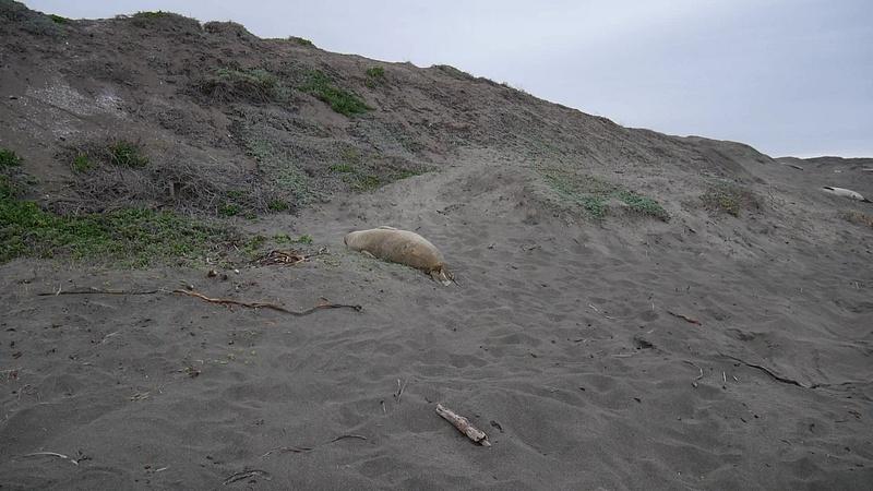 San Simeonin hietikolle rantautuu satoja merinisäkkäitä